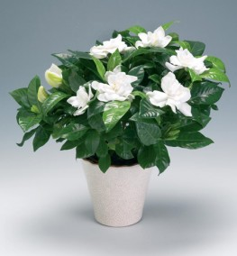 Gardenia 30